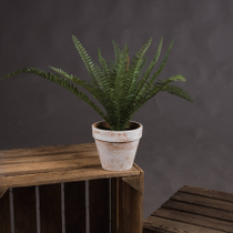 Potted Fern
