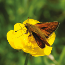 """Large Skipper"" by Michael Hampson"
